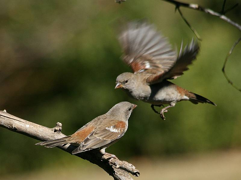 Two_Southern_Grey-headed_Sparrows_(Passer_diffusus),_one_in_flight