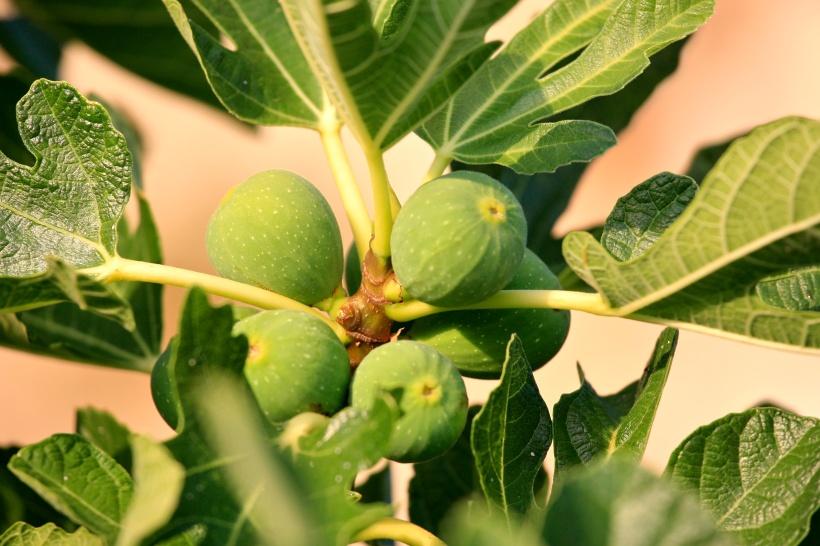 Fig_Tree_(5967272441).jpg